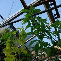 Odla i växthus