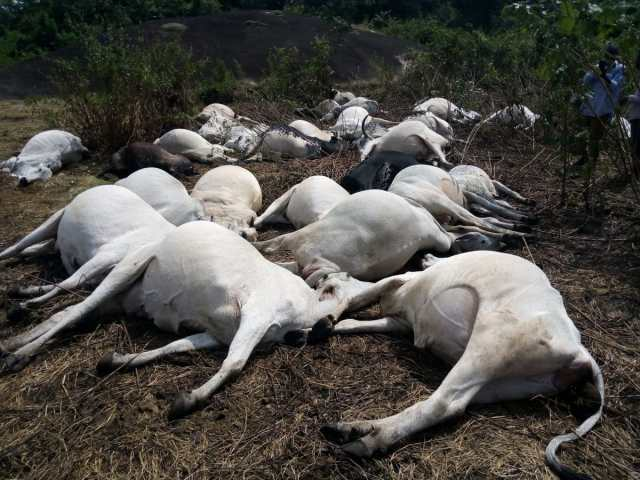 The dead cows