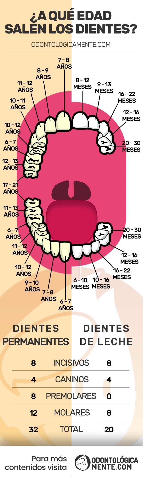 edad de los dientes infografia