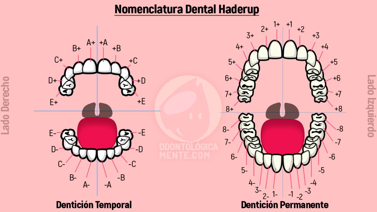 Nomenclatura Dental Haderup