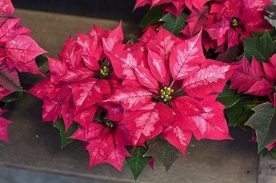 Vánoční hvězda - červená