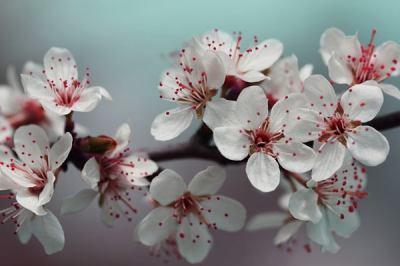 kvetoucí větvička třešně