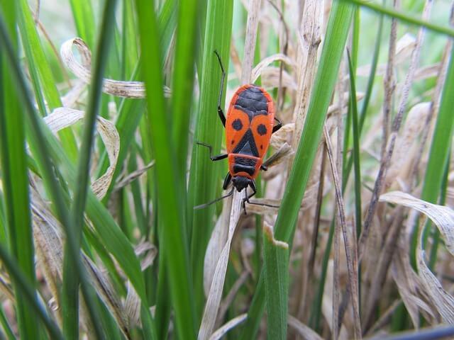 Červeno černý brouk – Ruměnice pospolná