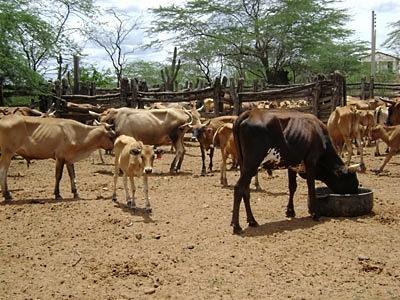 Gado curraleiro, no Nordeste, também chamado de Pé Duro. Ele foi  substituído pelo zebuíno criado em sistema de monocultura.