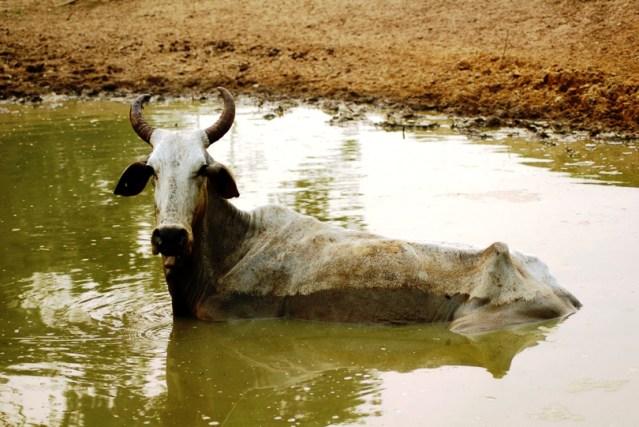 18022015-vaca-adulta