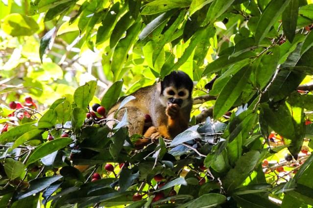 11082013-mico-de-cheiro-de-cabeca-preta