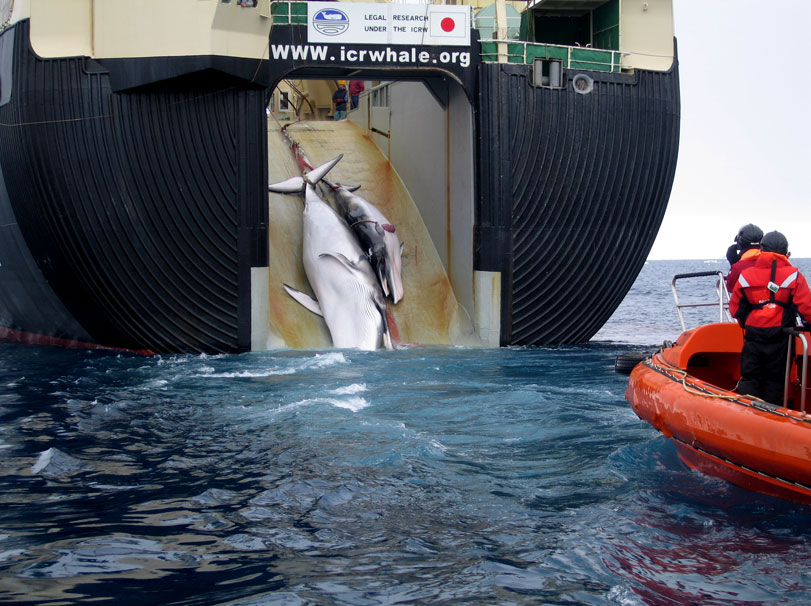 AustralianCustoms-WhalingInTheSouthernOcean 5