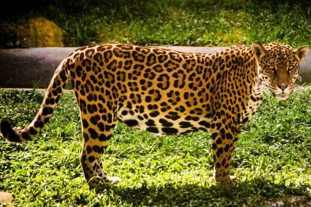 A onça pintada foi um dos animais mortos para a obtenção de pele para a moda internacional nos anos 50, 60. Foto: Mário Dias/Flickr.