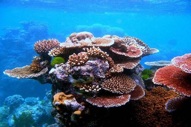 O aquecimento dos oceanos ocasionou a pior marca de corais mortos na Grande Barreira de Coral da Austrália. Foto: Toby Hudson/Wikipedia.