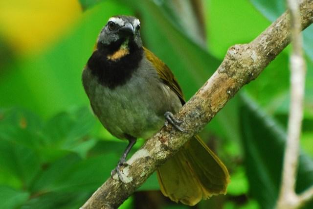 Trinca-ferro (acima), uma das aves encontradas que estava em  desacordo com a licença obtida. Foto: wikipédia.