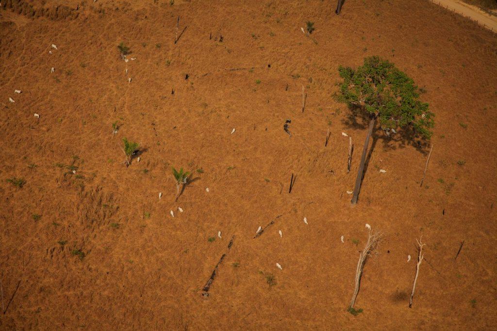 Gado na Floresta Nacional de Jamanxim. Foto: Marcio Isensee.