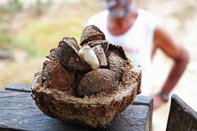 O ouriço da castanheira aberto, com as castanhas ainda fechadas. Foto: Duda Menegassi.