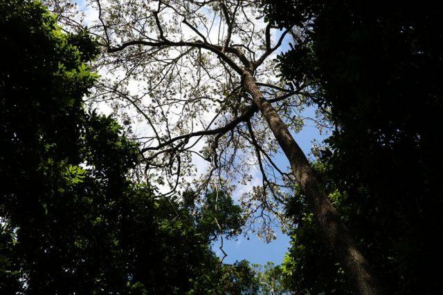 Castanheira abre seu espaço de céu azul em meio ao teto amazônico. Foto: Duda Menegassi.