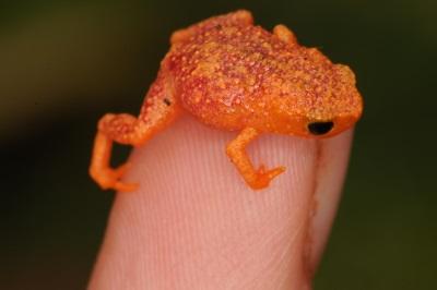 Tão pequeno que cabe na ponta de um dedo. Crédito: Sandra Goutte.