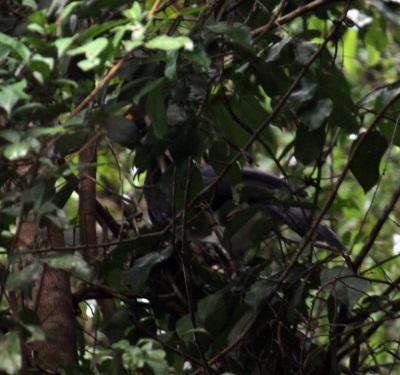 Mutum-pinima registrado em natureza. Foto: Diego Mendes.