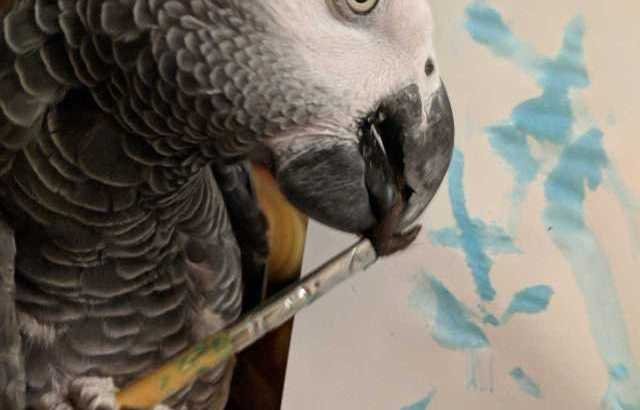 African grey parrots available