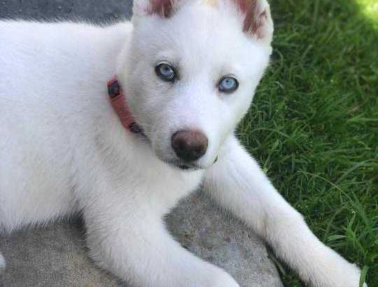 my lovely and gorgeous husky puppy