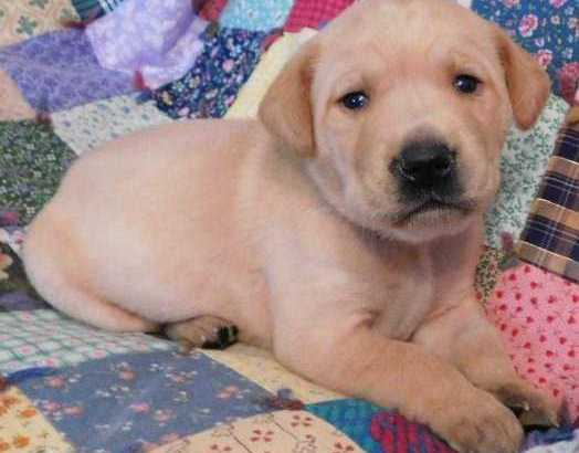 Akc Labrador retriever puppies for adoption
