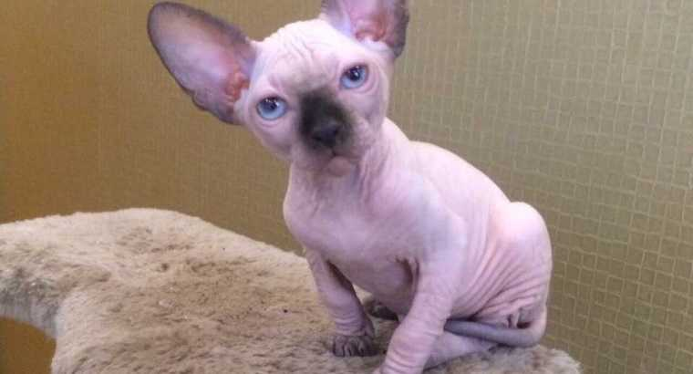 Hypoallergenic 100% Hairless Sphynx cat!