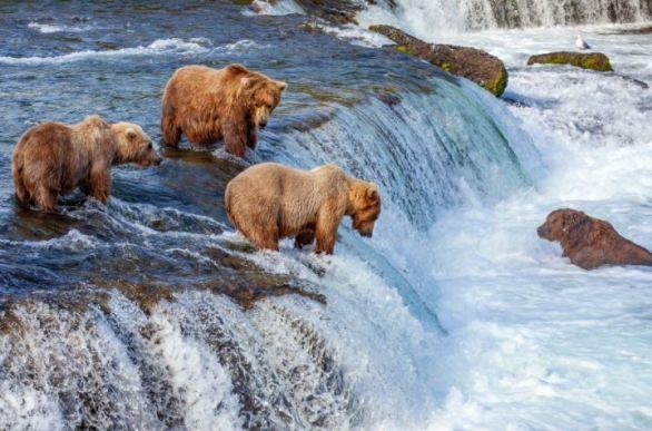 Katmai-Fat-Bear-Contest
