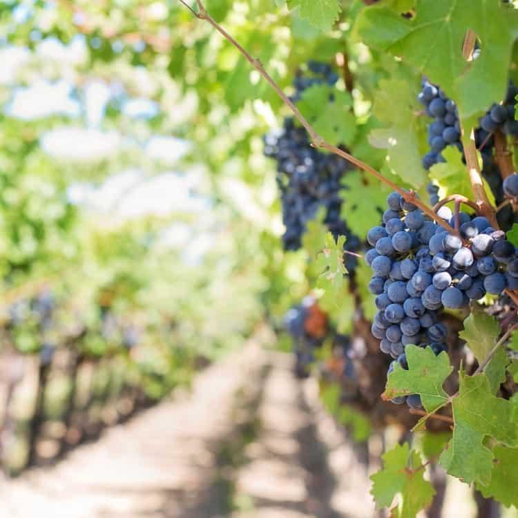 image of a grape vineyard