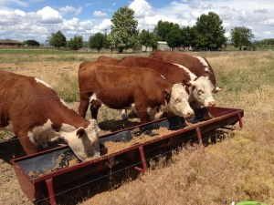 Our growing cow herd eating brewers grains from our friend's brewery in Boise.
