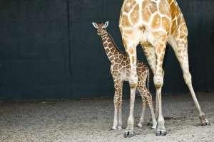 New born baby Giraffe at Busch Gardens - Orlando Food and Fun