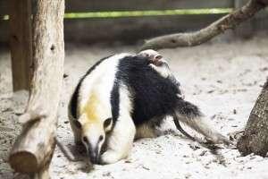 Baby tamandua hitches a ride  - Orlando Fun and Food