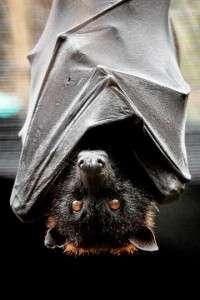 TLPZ flying fox bat cloaked