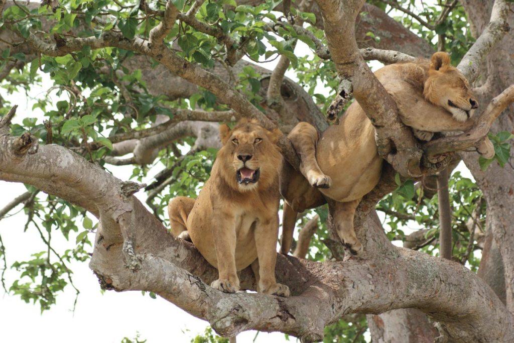 African Safari Vacation- Uganda Wildlife & Primates Holiday - Queen Elizabeth Wildlife Tour