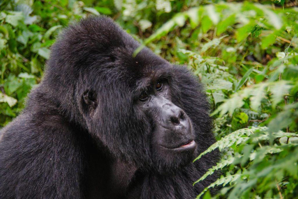 gorilla tracking Uganda - rwanda gorilla trekking