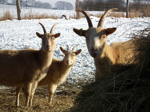 How To Feed Your Goats During Winter Without Going Broke