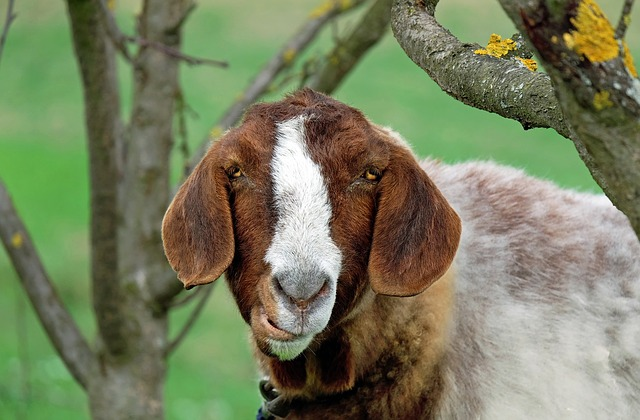 The Overlooked Way You Can Make THOUSANDS Of Dollars With Goats
