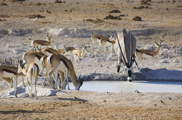 Oryx at waterhole