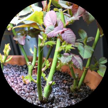 indoor miniature rose plant