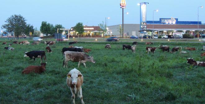 vacche 2L