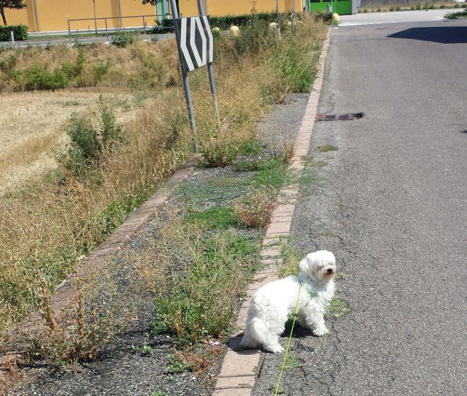 A Tortona il marciapiede in via dei Fragolai è coperto dalle erbacce e impraticabile da tempo