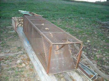 Ad Acqui Terme le guardie zoofile scoprono una gabbia illegale per catturare le volpi