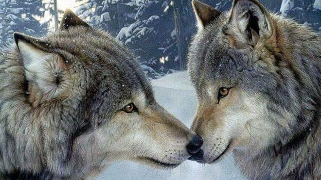 Sulle alture di Imperia mandria in alpeggio attaccata da un lupo