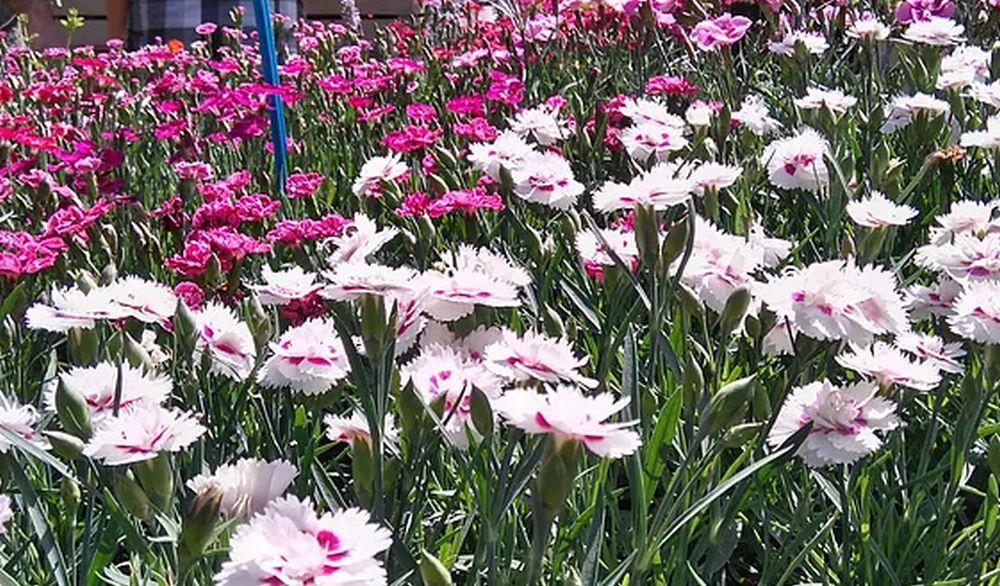 A Ovada c'è Fiorissima mostra mercato di fiori ed arredi per il giardino