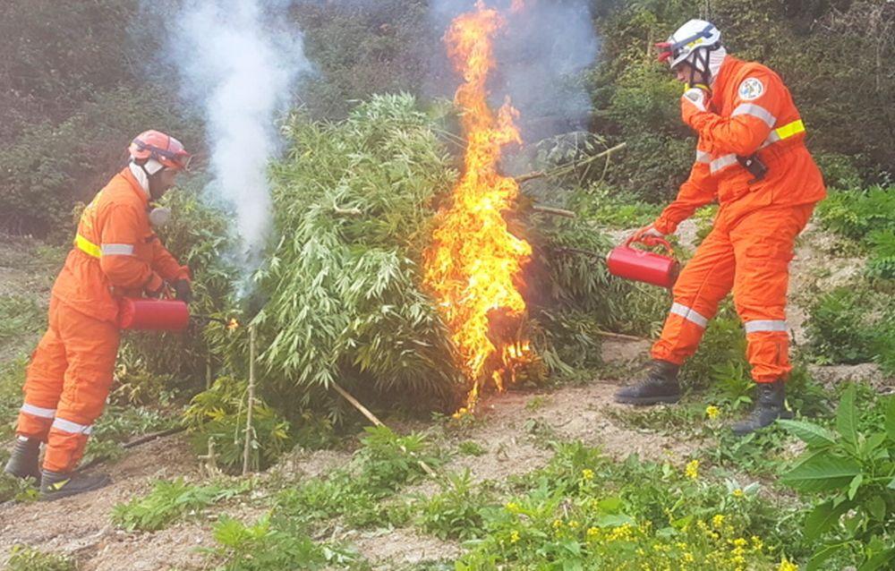 Scoperte e distrutte 600 piante di canapa indica nel casalese