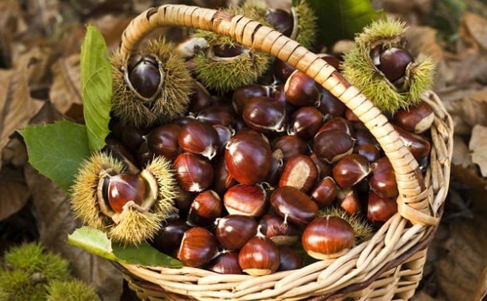 L'insetto Killer è stato annientato, finalmente in Liguria si può tornare a raccogliere castagne