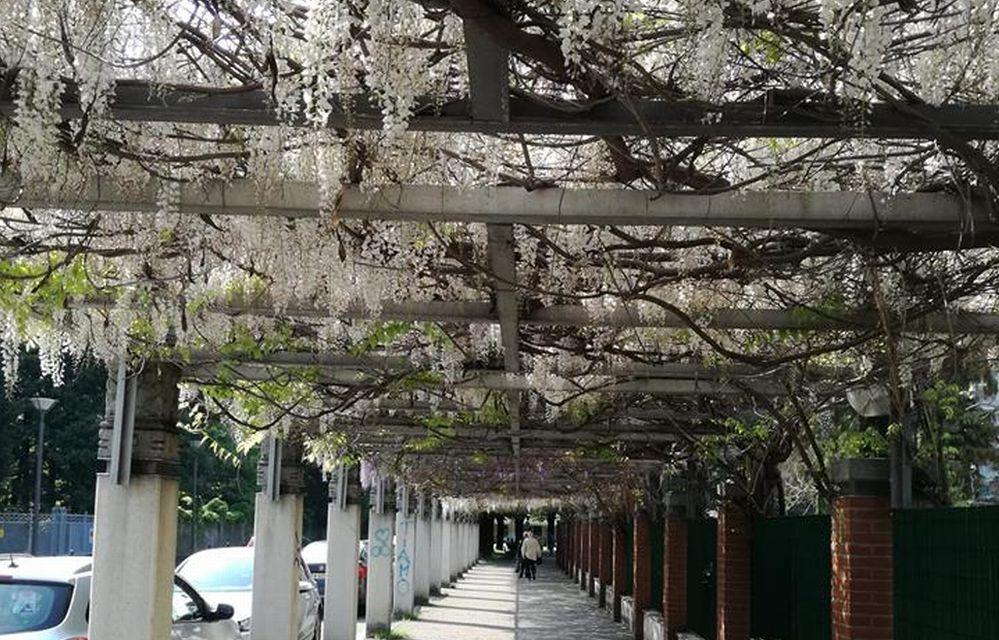 C'è Oggi Tortona: la fioritura bianca davanti all'ospedale nello scatto di Andrea Bani