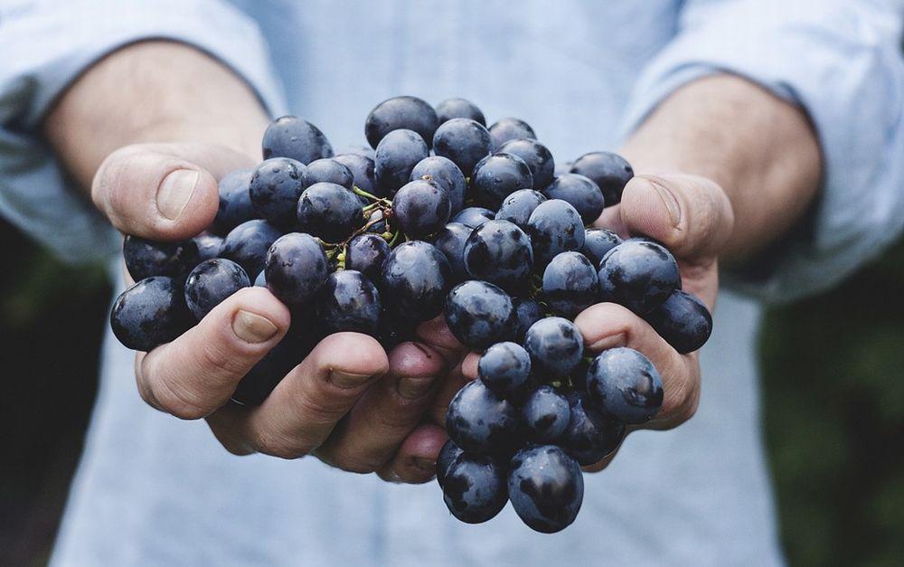 Confagricoltura Alessandria: Vendemmi 2020 con uve sane, quantità e qualità elevate