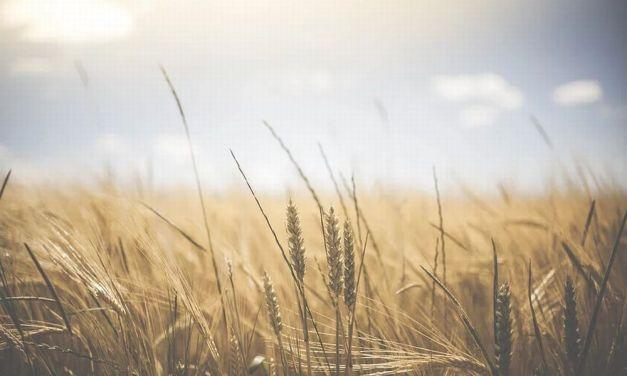 Giovedì ad Alessandria si parla di Micotossine nei cereali, pericolose per la salute dell'uomo e degli animali