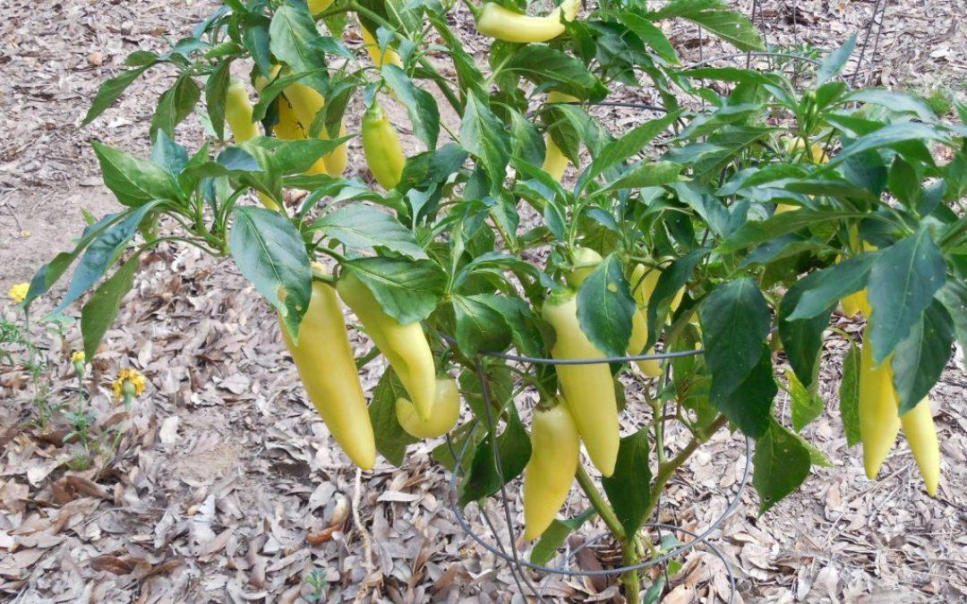Harvesting Pepper