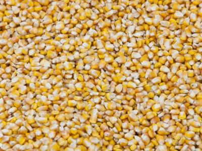 Three Things to know about Drying of Maize