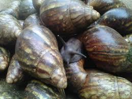 A Quick Walk through Snail Farming