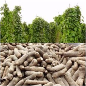 Better Ways To Farm Yam – Researcher