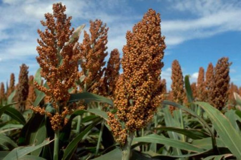Sorghum Market – Global Industry Analysis, Size, Share, Growth, Trends, and Forecast 2017 – 2025